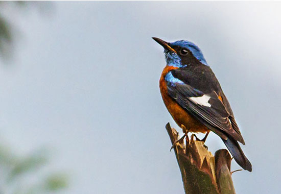 Birding in Sikkim